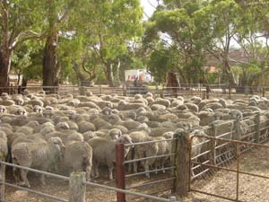 sheep in yards